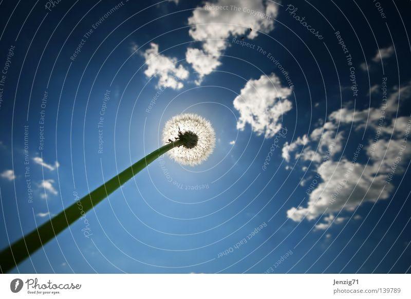Sonnenfinsternis. Wolken Sommer Blume Löwenzahn Froschperspektive Wiese streben Wachstum Stengel Weitwinkel Himmel Wetter im Gras liegen aufwärts recken