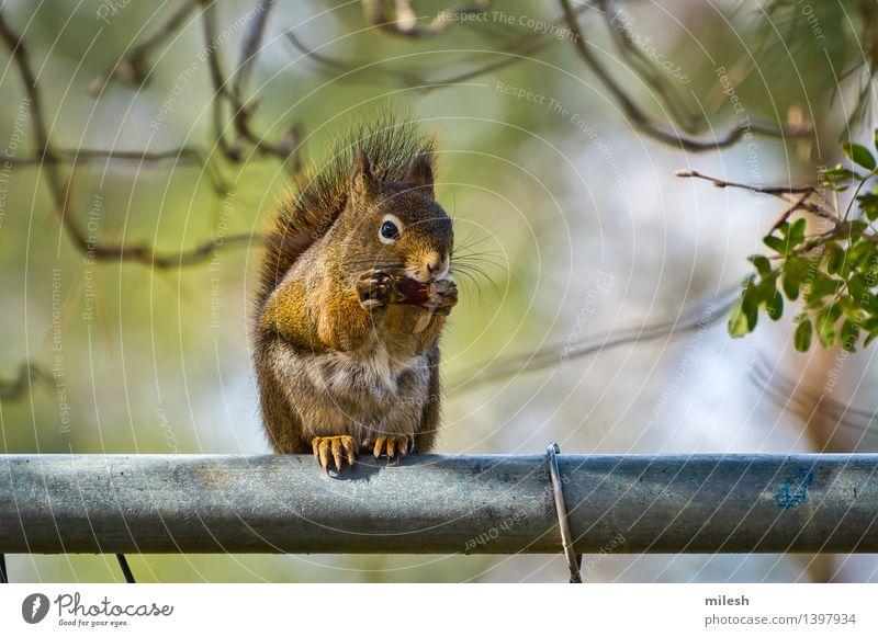 Eichhörnchen, das auf Zaun isst Tier klein lustig natürlich Neugier niedlich wild braun Appetit & Hunger Säugetier Eicheln reizvoll Unschärfe buschig Krallen