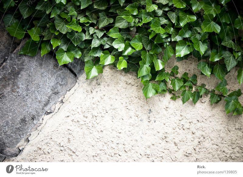 .Kletterwand Bergsteigen Klettern Freeclimbing Wand Putz Haus verfallen alt rustikal Efeu Kletterpflanzen Pflanze Blatt grün Stengel Gefäße Glätte matt glänzend