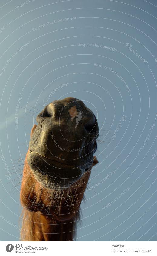 Speed Pferd Nüstern Lippen Schnurrhaar weich atmen Neugier Freundlichkeit rot braun grau Froschperspektive Gegenlicht Säugetier Maul Geruch Kontakt blau Himmel