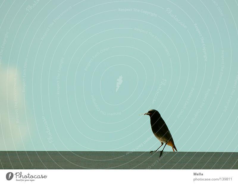 Balance Natur Himmel blau Wolken Tier Zufriedenheit Vogel klein Umwelt sitzen Dach natürlich niedlich hocken Hausrotschwanz