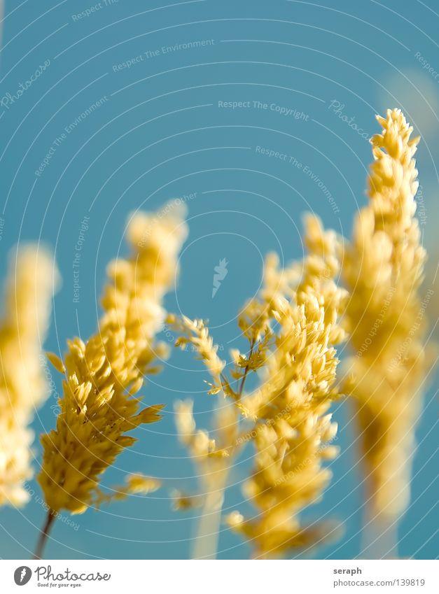 Grass Light Binsen Halm gelb hell-blau durcheinander Grasland ökologisch Pflanze Wiese quer Unschärfe Ähren Umwelt Korn Saatgut Samen Umweltschutz Süßgras
