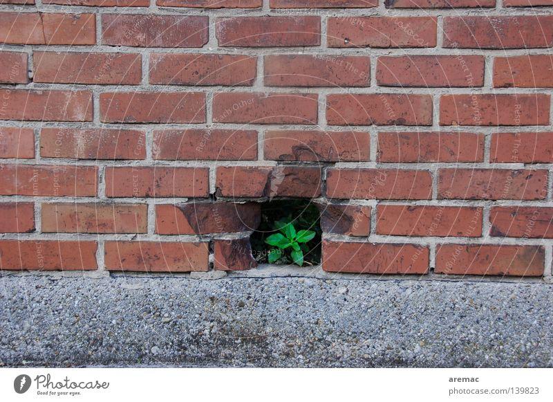 Durchbruch Pflanze rot Blatt Wand Freiheit Mauer Erfolg verfallen Backstein Loch