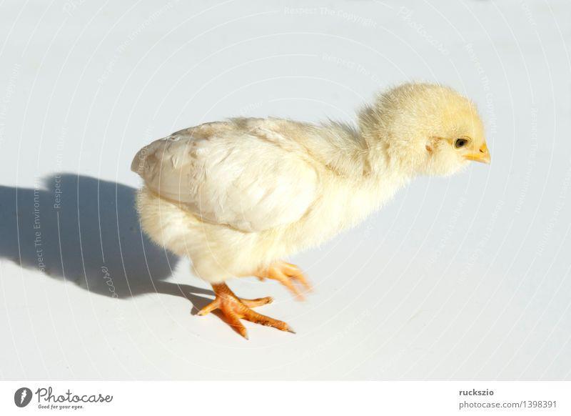 Huehnerkueken; Huehner; Kueken; Natur weiß Tierjunges gelb Hintergrundbild klein Vogel frei weich Haustier Stillleben Haushuhn Nutztier Ornithologie Schlag Küken