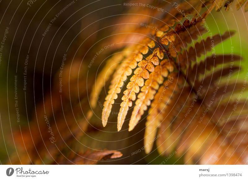Herbstlich geschmückt Pflanze Farn Wildpflanze leuchten elegant gelb gold herbstlich Herbstfärbung Farbfoto mehrfarbig Außenaufnahme Nahaufnahme Detailaufnahme