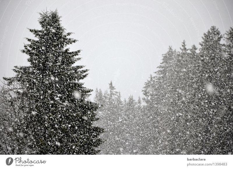 Es schneit - und wie! Natur Landschaft Freude Winter Wald Umwelt Schnee grau Stimmung Schneefall Klima Wandel & Veränderung viele Tanne Erwartung Schwarzwald