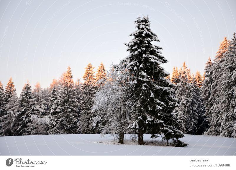 Tannenbaumbeleuchtung Natur Weihnachten & Advent Landschaft Winter Wald Umwelt Schnee Stimmung hell leuchten Idylle Beginn Klima Vorfreude Schwarzwald