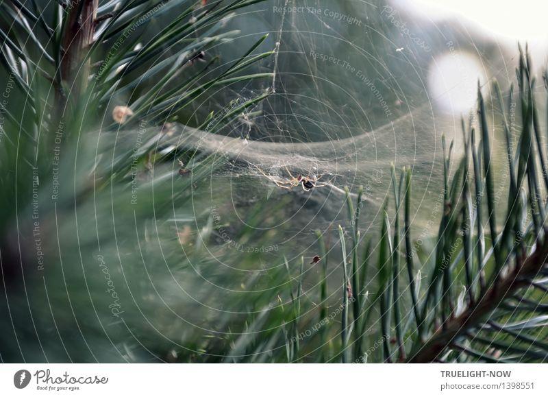 Streng geheim | Tödliche Netze Natur Pflanze Schönes Wetter Baum Kiefer Kiefernnadeln Wald Tier Wildtier Totes Tier Spinne Spinnennetz bauen beobachten fangen