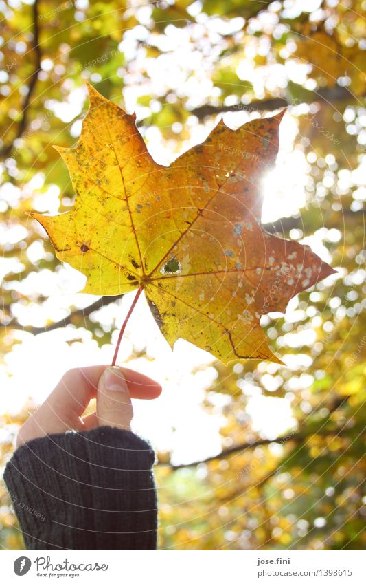 Herbstleuchten ll Freude ruhig Meditation Ferien & Urlaub & Reisen Erntedankfest Natur Wetter Schönes Wetter Pflanze Baum Blatt Ahornblatt Garten Wald