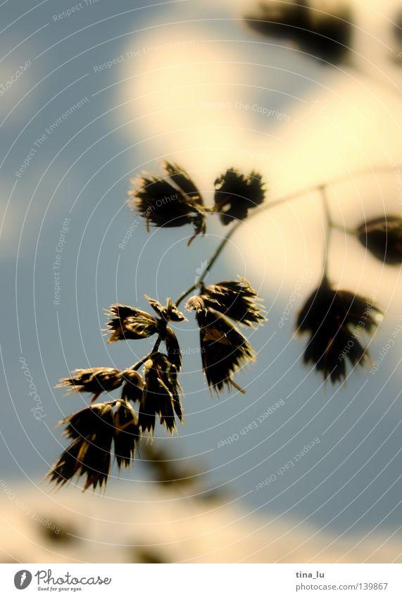 sommergras Frühling Sommer himmelblau hell-blau Sträucher Blüte weiß Blütenblatt braun grün frisch Licht genießen Physik Sonnenstrahlen träumen Gras Halm Himmel