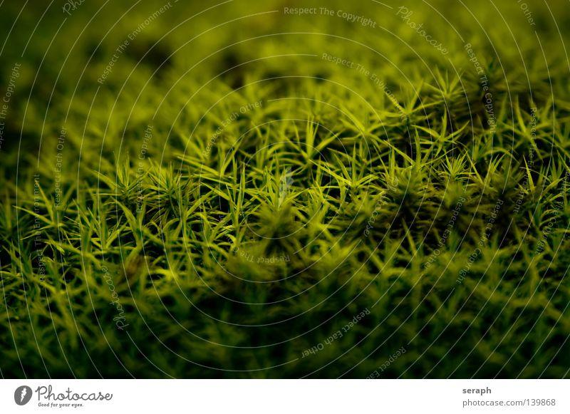 Mooswelten Pflanze grün zart Muster Hintergrundbild Laubmoos Bodendecker Sporen Umwelt Umweltschutz Symbiose Mikrofotografie klein weich Unschärfe Nest dunkel