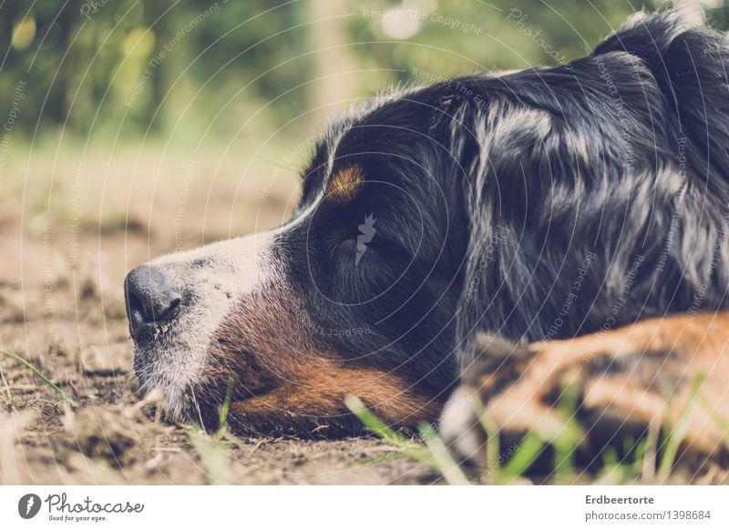 platt Tier Haustier Hund 1 Erholung schlafen träumen kuschlig weich Trägheit bequem Zufriedenheit Berner Sennenhund Fell Müde Farbfoto Gedeckte Farben
