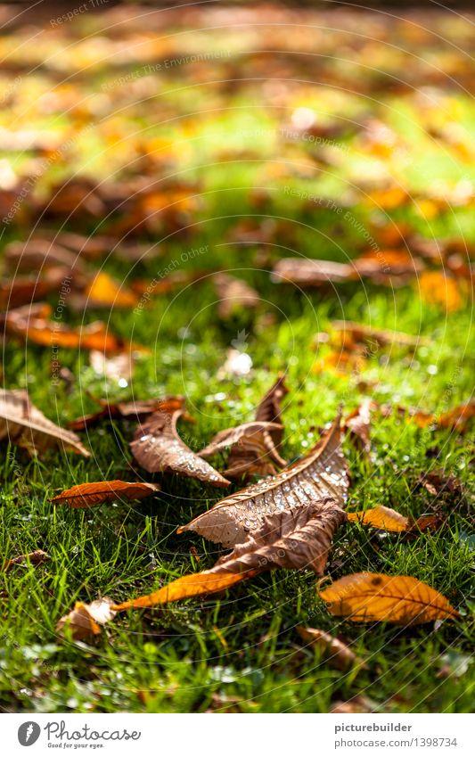 Herbstmorgen Natur Wassertropfen Sonnenlicht Schönes Wetter Gras Blatt Garten Park alt glänzend braun grün orange Vergänglichkeit Herbstlaub Farbfoto