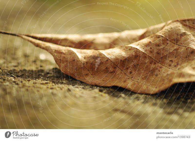 liegen geblieben Umwelt Natur Pflanze Erde Herbst Blatt Grünpflanze Wildpflanze alt dünn authentisch einfach nah natürlich trist trocken wild weich braun