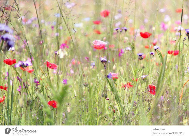 da is er wieder, der mo(h)ntag! Natur Pflanze Frühling Sommer Schönes Wetter Blume Gras Blatt Blüte Wildpflanze Mohn Garten Park Wiese Blühend Duft Wachstum