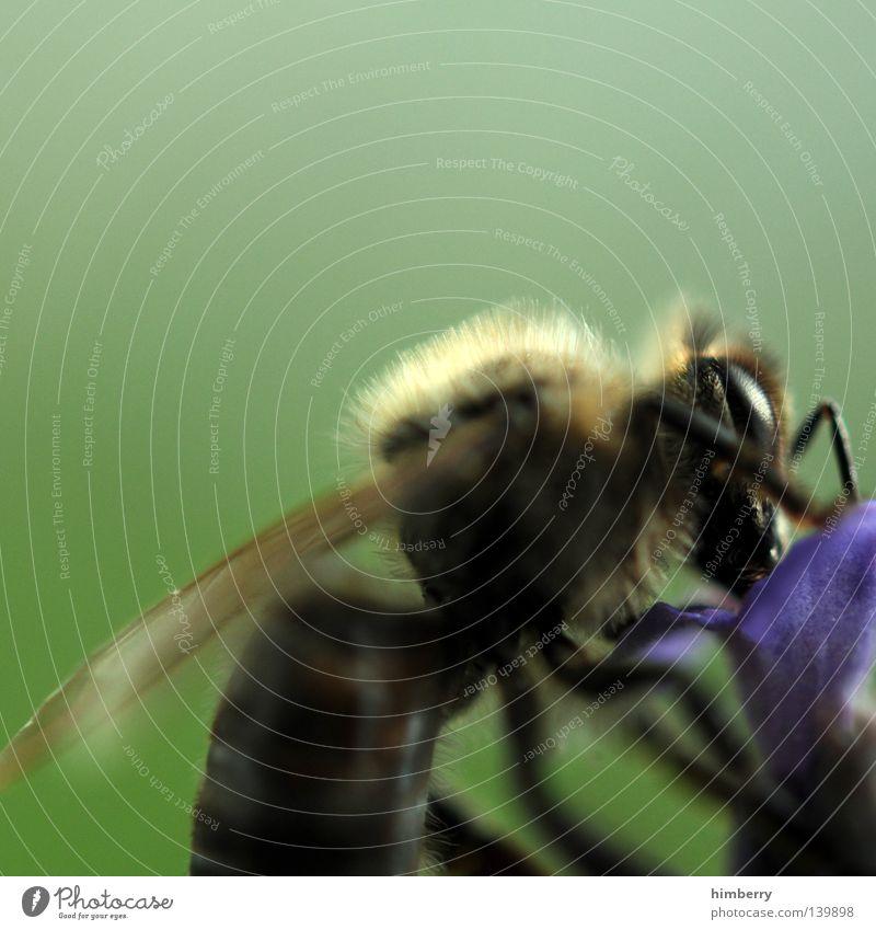 b2b Biene Maja Blume Pflanze Tier Staubfäden Pollen Flügel Insekt stechen Arbeit & Erwerbstätigkeit fleißig Makroaufnahme Nahaufnahme Nektar insect at work
