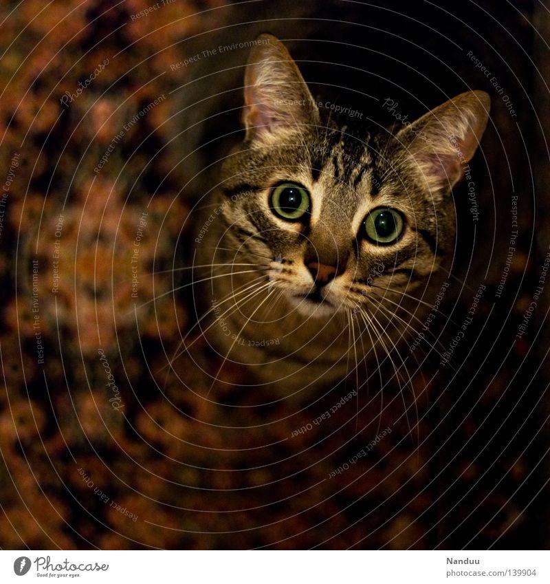 Kraul mich, Baby Katze schön Tier klein beobachten niedlich Neugier Haustier Wohnzimmer Säugetier Hauskatze kuschlig Teppich Klischee unschuldig
