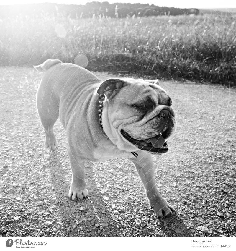 BOB BULLDOGGE weiß Sonne Sommer Freude schwarz Gras lachen Hund Stein Wege & Pfade lustig Hautfalten dick Falte Gewicht Ackerbau