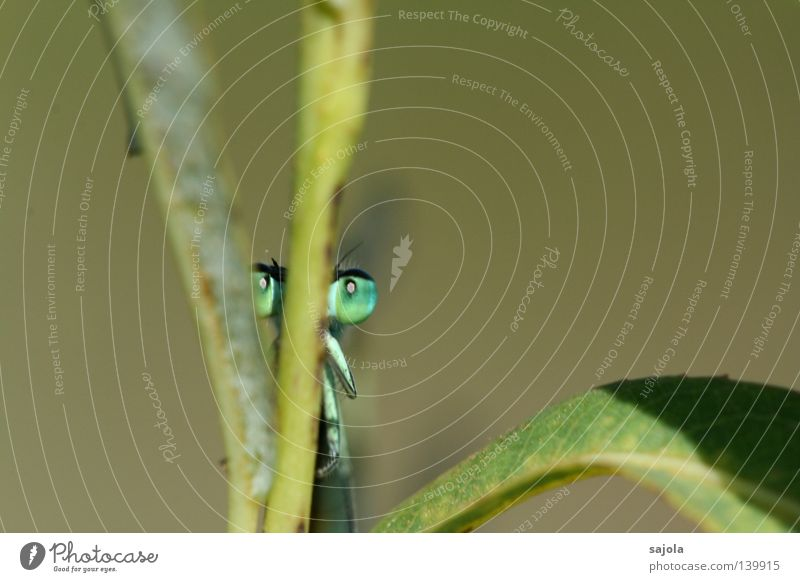 versteckspiel Tier Blatt dünn grün Klein Libelle Facettenauge Auge Beine Azurjungfer Europa Kopf frontal Insekt Stengel verstecken wasserjungfer hinten Farbfoto