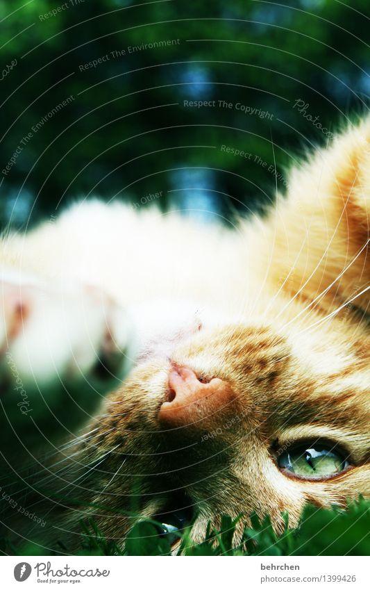 hab mich lieb! Katze grün schön Erholung Tier gelb Auge liegen träumen Zufriedenheit genießen beobachten weich Nase Fell Haustier