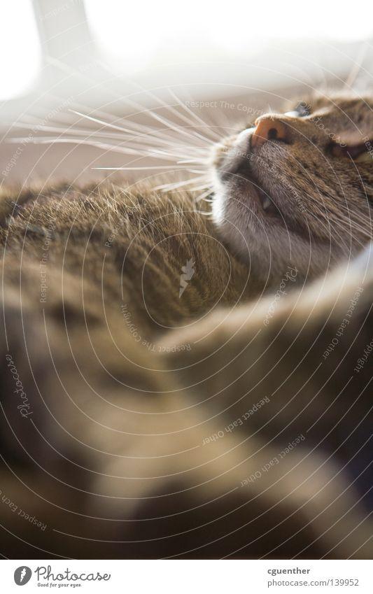 Josi Katze Fell Pfote Maul Schnauze Nase Auge schlafen Halbschlaf Erholung Bart Barthaare Schnurrhaar Säugetier getigert