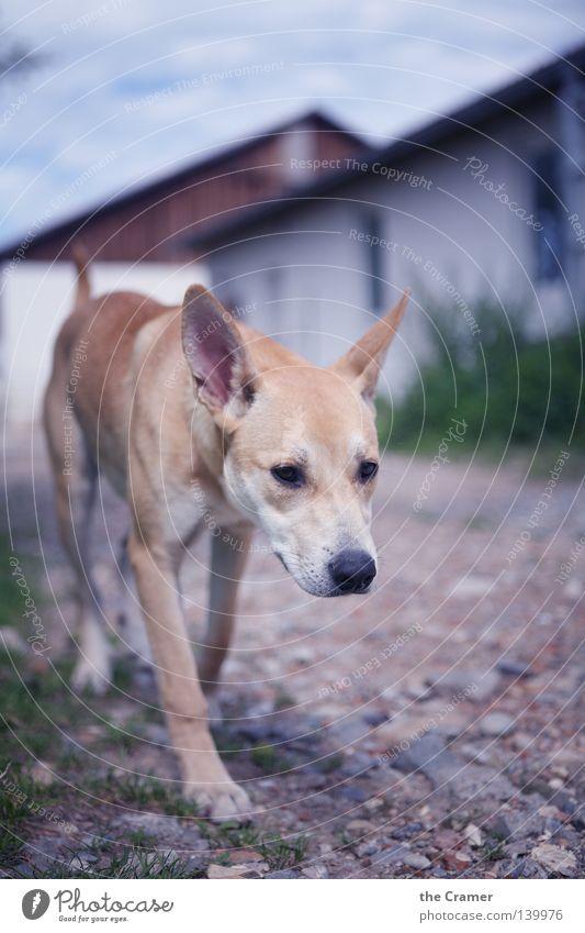 Lotte auf Wanderschaft Tier gelb Hund Stein Wege & Pfade Sand wandern gehen gold aufwärts Wachsamkeit Säugetier Sitzgelegenheit frech Treue Schnauze