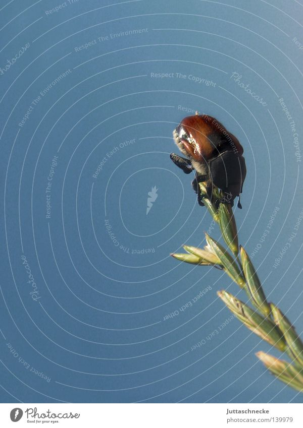 Dead End Insekt Käfer Maikäfer Halm Getreide Sackgasse Spitze Ende blau Himmel Feld Natur krabbeln Bergsteigen Klettern Zufriedenheit Erfolg Sommer Junikäfer