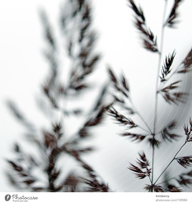 saint etienne Gras Farn Pflanze Natur Halm Makroaufnahme Park Gartenbau weiß Abschied Gruß Hintergrundbild Samen Allergiker Wachstum gedeihen Sturm Wind ruhig