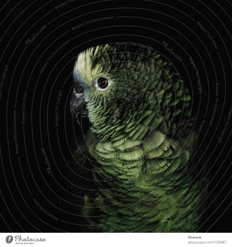 Papagei Papageienvogel Vogel grün schwarz gelb Schnabel Feder Sträucher Wildnis Natur Amazonas fliegen Tier mehrfarbig Farbe dunkel grau tropisch Himmel amazone