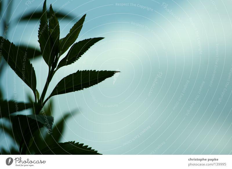 Nachtschattengewächs am Tag Himmel Blume grün Pflanze ruhig Blatt Ferne Erholung Zufriedenheit Wachstum Frieden Kräuter & Gewürze Stengel türkis sanft
