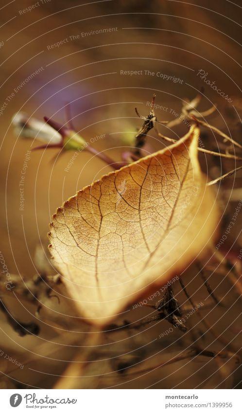 vergänglichkeit Umwelt Natur Pflanze Herbst Blatt Grünpflanze Wildpflanze Hecke alt dünn authentisch einfach kalt nah natürlich Spitze trist trocken wild weich