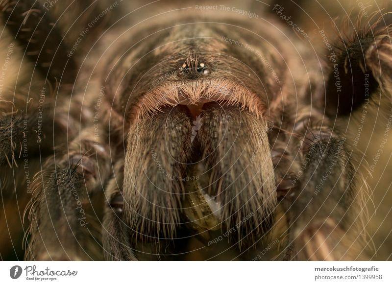 Vogelspinnen Portrait Tier Wildtier Spinne Tiergesicht Terrarium 1 Essen fangen Fressen Jagd Aggression außergewöhnlich bedrohlich exotisch braun Angst Gift