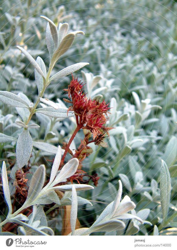 Red Queen Blume Blüte rot Blatt Pflanze grün Garten Kontrast