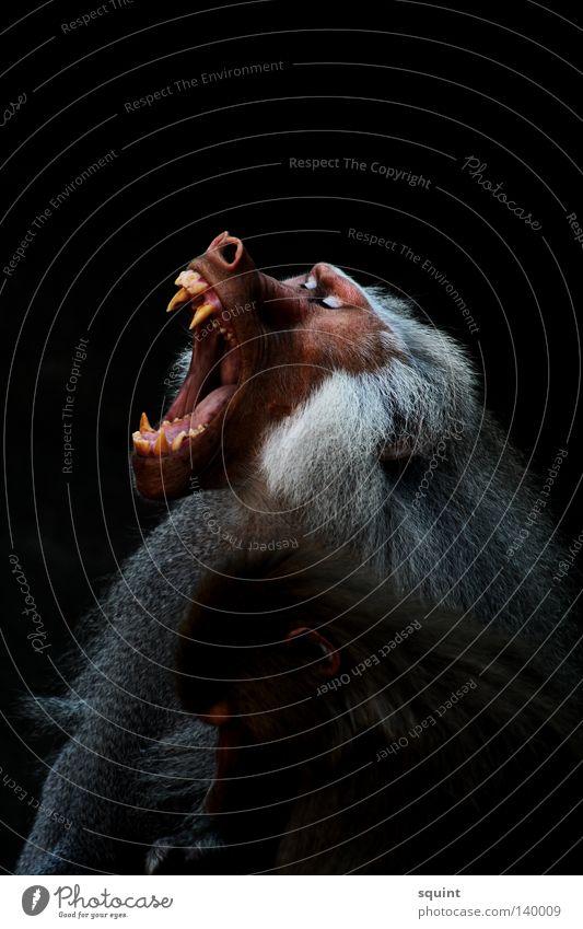 yeah Tier Pavian schreien gähnen Affen Menschenaffen Säugetier Gebiss Müdigkeit
