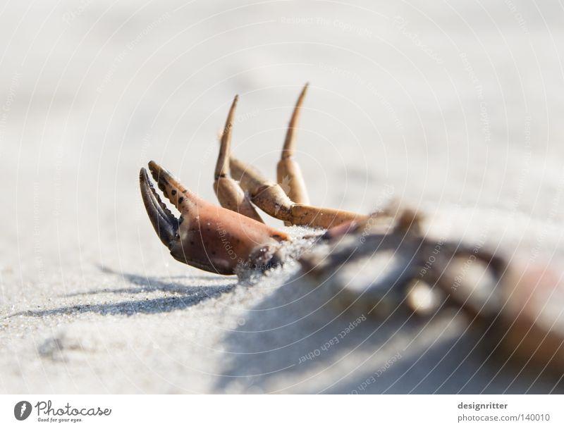 Vom Winde verweht Krebstier Krabbe Schere Zange Beine Meer See Strand Sand finden Fundstück Strandgut Tod Sensenmann Leben Sammlung Tier Meeresfrüchte Spielen