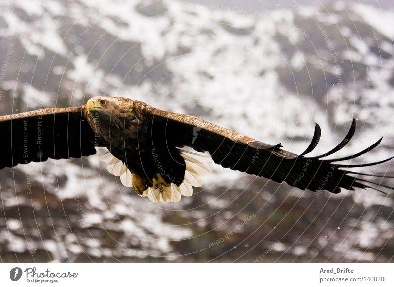 Seeadler Norwegen Berge u. Gebirge fangen Feder Fjord fliegen Flügel Fressen Greifvogel groß hell Himmel Beute Jagd kalt Kraft Küste majestätisch Meer Polarmeer