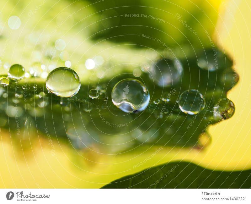 Wasservorrat III Natur Pflanze Urelemente Wassertropfen Sonnenlicht Sommer Herbst Blatt Garten Park ästhetisch frisch natürlich positiv schön gelb grün