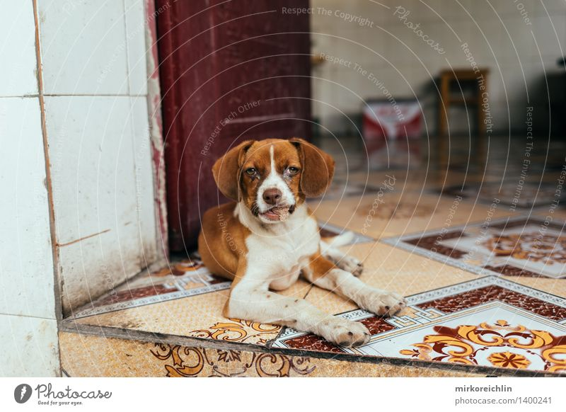 Der chinesische Hund Küche Natur Tier Haustier Tiergesicht 1 Tierjunges hören Blick Freundlichkeit Glück schön klein natürlich niedlich wild orange weiß