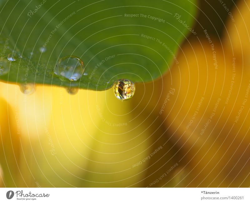 noch mehr Tropfen Natur Pflanze Urelemente Wassertropfen Sonnenlicht Sommer Herbst Blatt Garten Park ästhetisch frisch nass natürlich schön weich gelb grün Tau