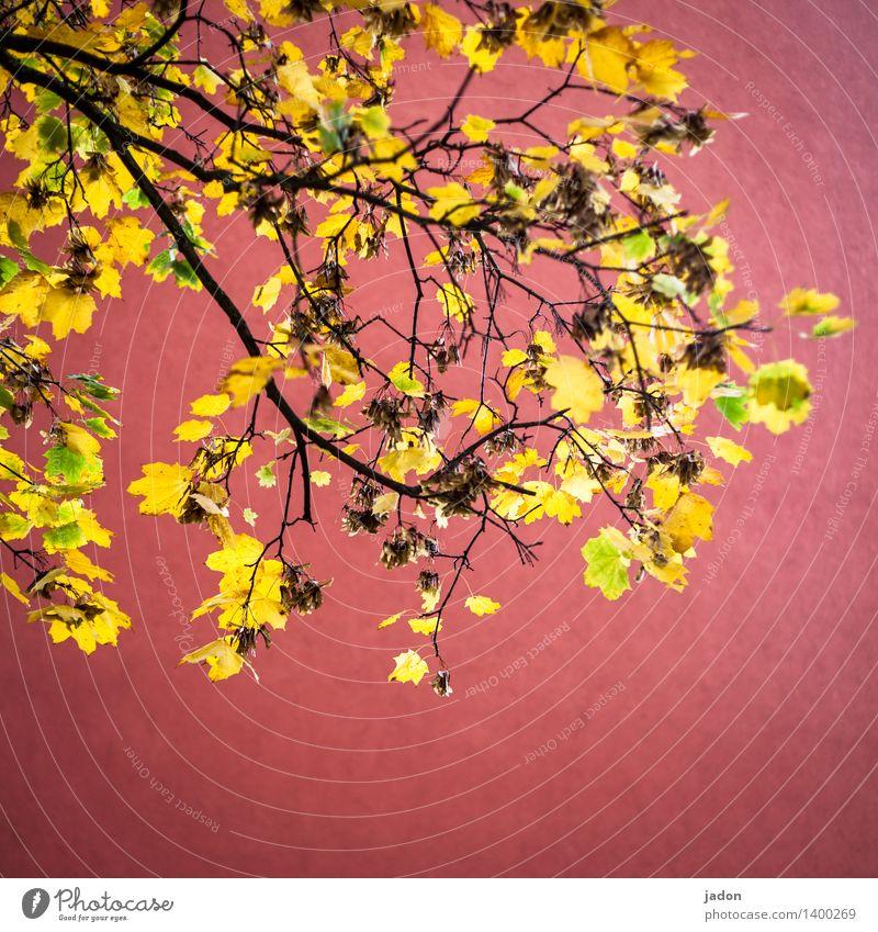herbstfeuer. Natur Pflanze Baum rot Landschaft Blatt gelb Herbst elegant gold Energie erleuchten Reichtum Kunstwerk Ahornblatt Ahorn