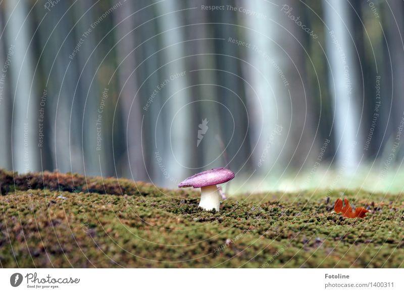Pilz ruft Verstärkung Umwelt Natur Pflanze Herbst Schönes Wetter Baum Wald natürlich grau Picknick Pilzhut Moos Moosteppich Farbfoto Gedeckte Farben mehrfarbig