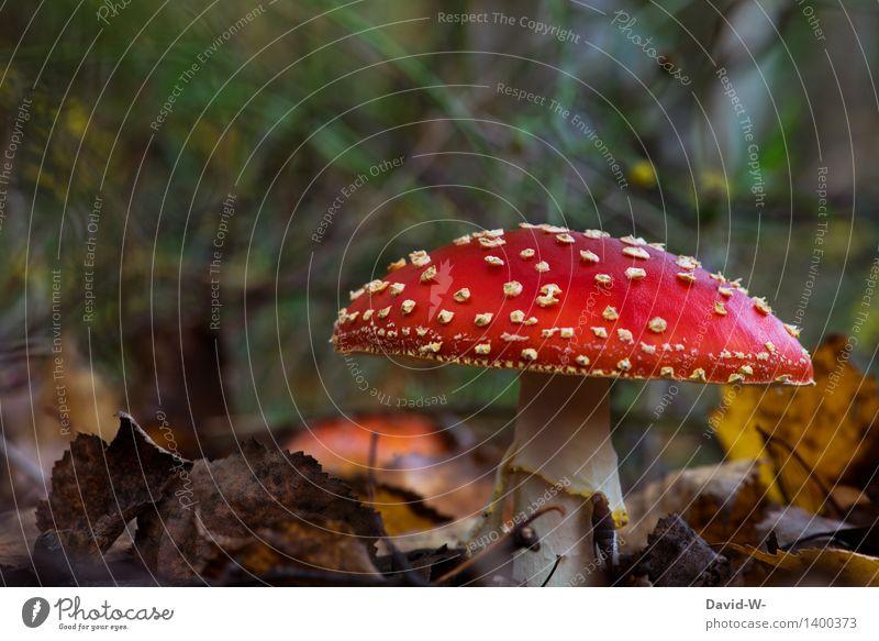 Der Fliegenpilz Gesundheit Ausflug wandern Umwelt Natur Landschaft Erde Herbst Schönes Wetter Pflanze Moos Wildpflanze exotisch Wald Wachstum schön Pilz giftig