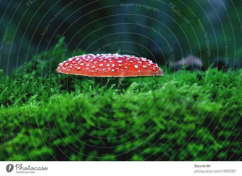 Fliegenpilz Umwelt Natur Landschaft Herbst Klima Klimawandel Schönes Wetter Pflanze Moos Wald Wachstum Gift Punkt rot Pilz schön ungenießbar ansammeln