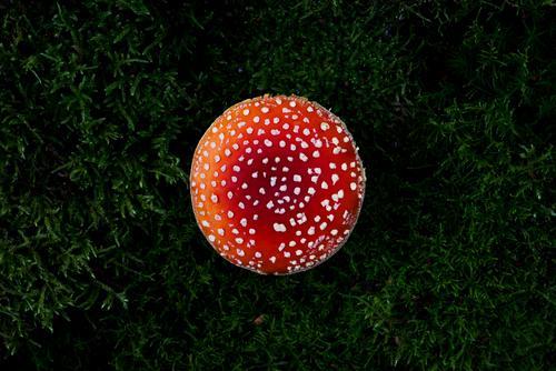 Giftpilz Kunst Umwelt Natur Landschaft schlechtes Wetter Pflanze Moos Wald leuchten rot vergiftet gefährlich weiß mehrfarbig schön dunkel Waldboden Respekt Tod