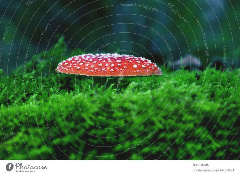 weich gebettet Umwelt Natur Landschaft Herbst Wetter Schönes Wetter schlechtes Wetter Pflanze Moos Wiese Wald Urwald Wachstum Pilz Pilzhut Fliegenpilz Hexe