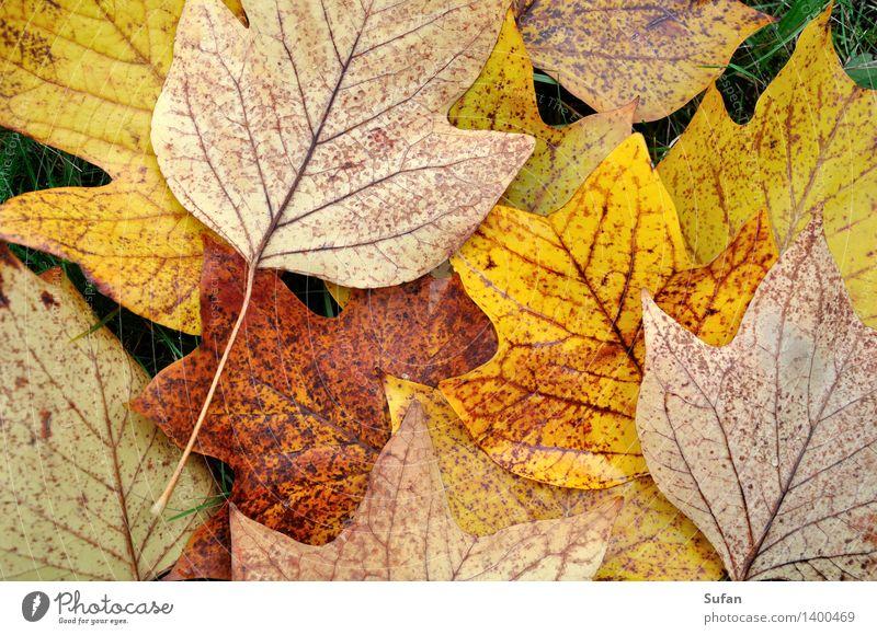 Herbstinfo Umwelt Pflanze Blatt Tulpenbaum Park Bildpunkt fallen dehydrieren trocken unten braun mehrfarbig gelb gold grau violett orange schön ruhig Natur
