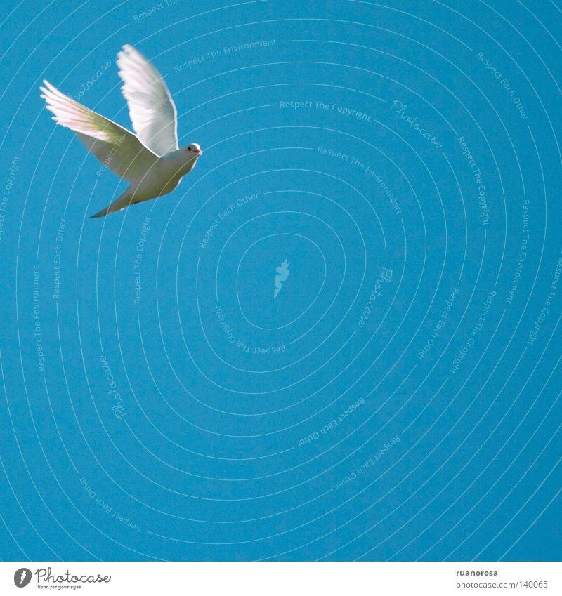 Columba Flügel Frieden Tier Vogel Feder Macht paloma blanca weiß fliegen blau batir paz pureza blancura cuadrada ave Leben gelenkig gracil veloz Geschwindigkeit