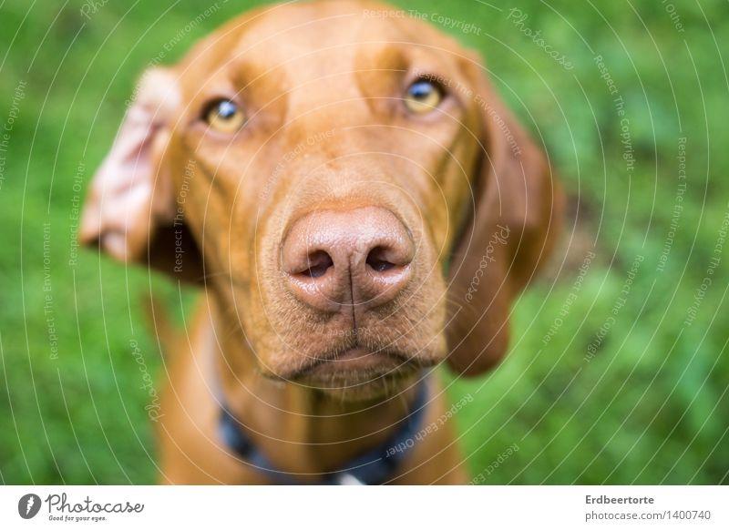 Ohren auf! Tier Haustier Hund 1 beobachten hören schön Neugier braun grün warten Geruch Magyar Vizsla Jagdhund Farbfoto mehrfarbig Außenaufnahme