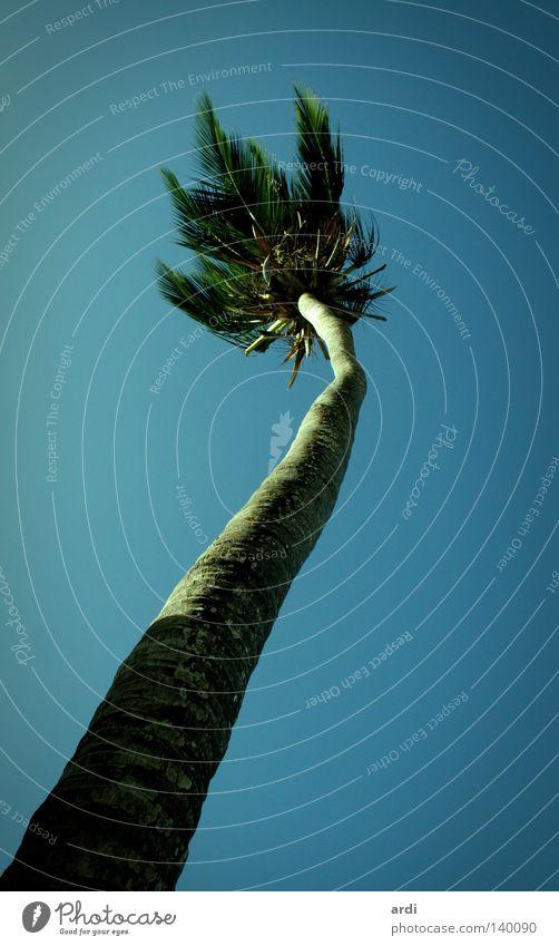 Palmenperspektive Ferien & Urlaub & Reisen Baum Palmenwedel Kokosnuss Baumstamm Froschperspektive Physik heiß Sommer Natur Südamerika Baumkrone Kokospalme