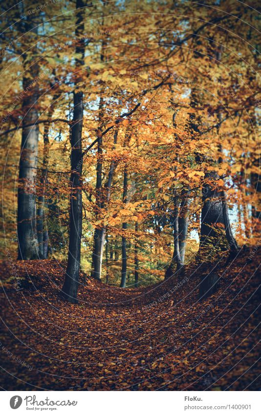 Waldweg Umwelt Natur Landschaft Pflanze Erde Herbst Baum Blatt Wege & Pfade natürlich gelb orange herbstlich Herbstfärbung Herbstwald Herbstlandschaft Fußweg